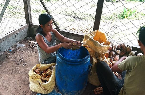 Die Kakaobohnen werden per Hand aus den Schoten entfernt